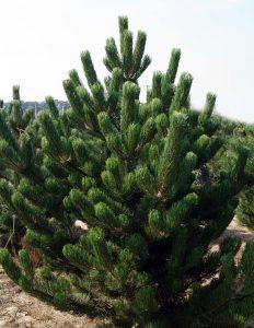 Juodoji pušis (Pinus nigra)