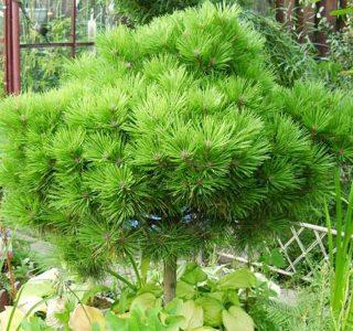 Juodoji pušis 'Compacta' (Pinus nigra 'Compacta')