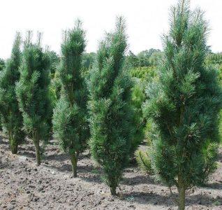 Juodoji pušis 'Fastigiata' (Pinus nigra 'Fastigiata')