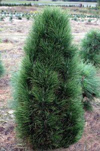 Juodoji pušis 'Obelisk' (Pinus nigra 'Obelisk')