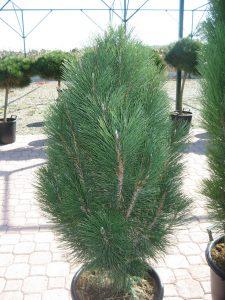 Juodoji pušis 'Pyramidalis' (Pinus nigra 'Pyramidalis')