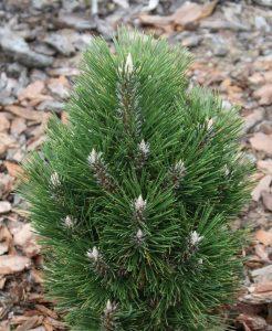 Juodoji pušis 'Richard' (Pinus nigra 'Richard')