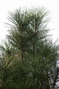 Juodoji pušis 'Scholz' (Pinus nigra 'Scholz')