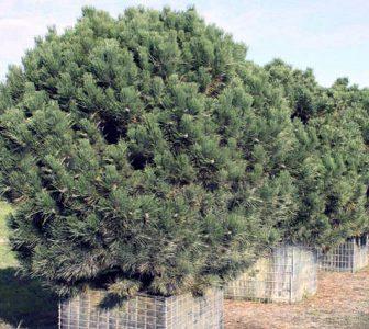 Juodoji pušis 'Uelzen' (Pinus nigra 'Uelzen')