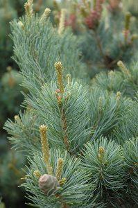 Smulkiažiedė pušis 'Gimborns's Ideal' (Pinus parviflora 'Gimborns's Ideal')