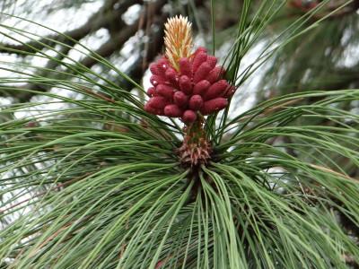 Geltonoji pušis (Pinus ponderosa)