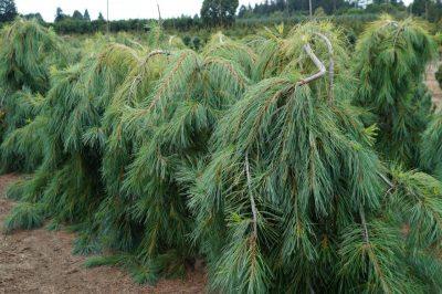 Veimutinė pušis 'Pendula' (Pinus strobus 'Pendula')