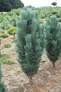 Paprastoji pušis 'Fastigiata' (Pinus sylvestris 'Fastigiata')
