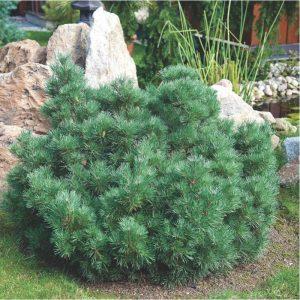 Paprastoji pušis 'Watereri' (Pinus sylvestris 'Watereri')