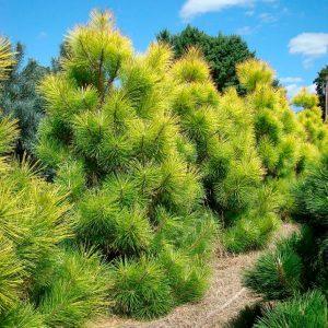 Japoninė pušis 'Ogon' (Pinus thunbergii 'Ogon')