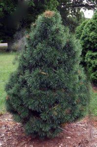 Kablelinė pušis 'Pyramidata' (Pinus uncinata 'Pyramidata')