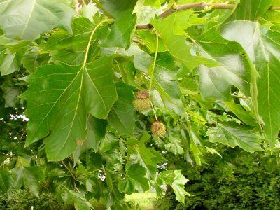 Klevalapis platanas (Platanus acerifolia)