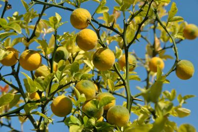 Kartusis apelsinas (Poncirus trifoliata)