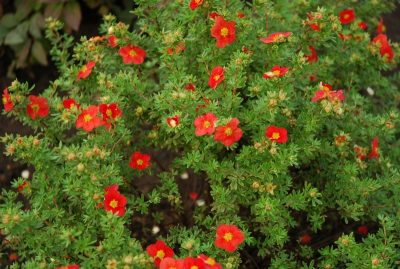 Sidabrakrūmis 'Red Ace' (Potentilla fruticosa 'Red Ace')