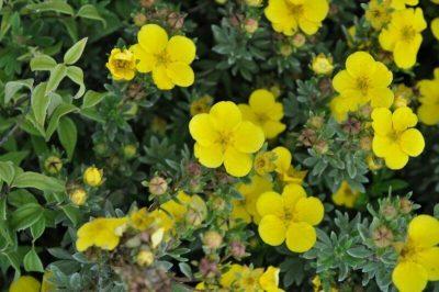 Sidabrakrūmis 'Sommerflor' (Potentilla fruticosa 'Sommerflor')