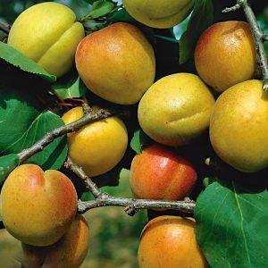 Abrikosas 'Ungarische Beste' (Prunus armeniaca 'Ungarische Beste')