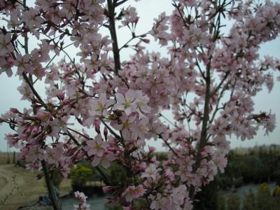 Slyvinė vyšnia 'Nigra' (Prunus cerasifera 'Nigra')