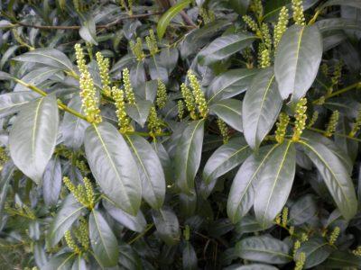 Lauravyšnė 'Van Nes' (Prunus laurocerasus 'Van Nes')