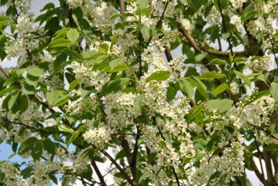 Paprastoji ieva (Prunus padus)