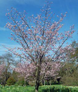 Saržento vyšnia (Prunus sargentii)