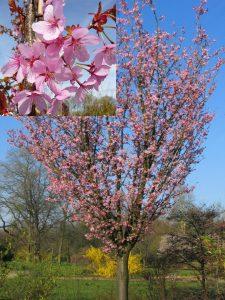 Saržento vyšnia 'Rancho' (Prunus sargentii 'Rancho')