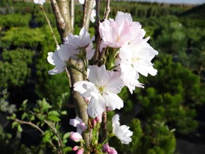 Smailiadantė vyšnia 'Amanogawa' koloninė (Prunus serrulata 'Amanogawa')