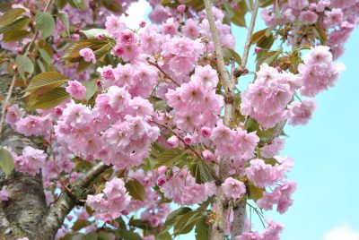 Smailiadantė vyšnia 'Kanzan' (Prunus serrulata 'Kanzan')