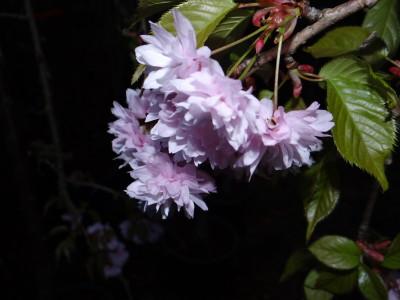 Smailiadantė vyšnia 'Kiku-shidare-zakura' (Prunus serrulata 'Kiku-shidare-zakura')