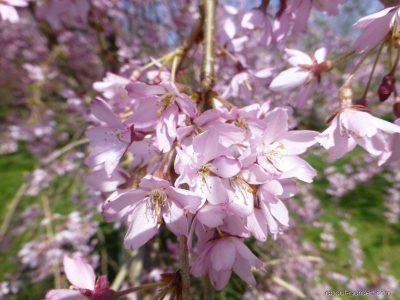 Pavasarinė vyšnia 'Pendula Rubra' (Prunus subhirtella 'Pendula Rubra')