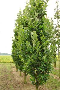 Dvispalvis ąžuolas 'Regal Prince' (Quercus bicolor 'Regal Prince')