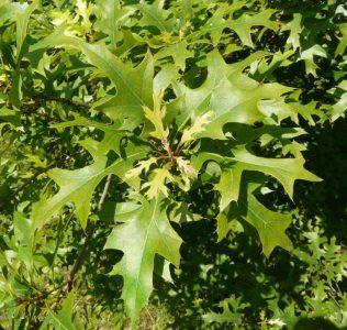 Vengrinis ąžuolas (Quercus buckleyi)