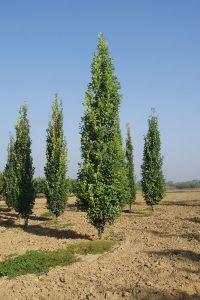 Paprastasis ąžuolas 'Fastigiata Koster' (Quercus robur 'Fastigiata Koster')
