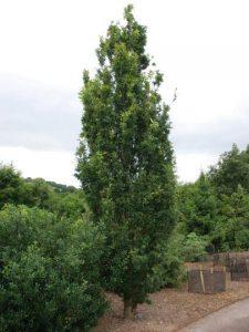 Paprastasis ąžuolas 'Salfast' (Quercus robur 'Salfast')
