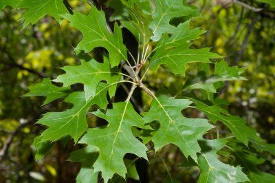 Raudonasis ąžuolas (Quercus rubra)