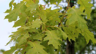 Raudonasis ąžuolas 'Aurea' (Quercus rubra 'Aurea')