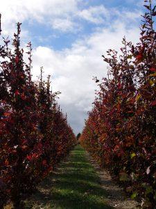 Ąžuolas 'Crimschmidt' (Quercus robur)