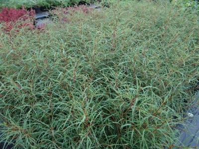 Paprastasis šaltekšnis 'Aspleniifolia' (Rhamnus frangula 'Aspleniifolia')