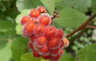 Aromatinis žagrenis (Rhus aromatica)