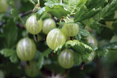 Agrastas  'Rikó' (Ribes uva-crispa 'Rikó')