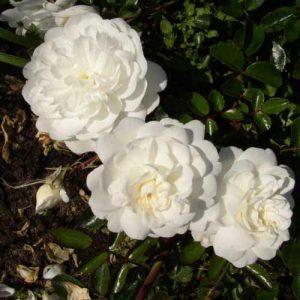 Rožė 'Snowfield' (Rosa 'Snowfield')