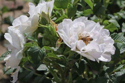 Rožė 'White Roadrunner' (Rosa 'White Roadrunner')