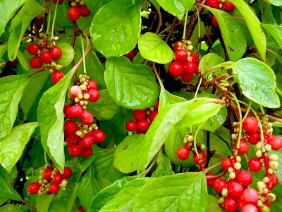 Kininis citrinvytis (Schisandra chinensis)