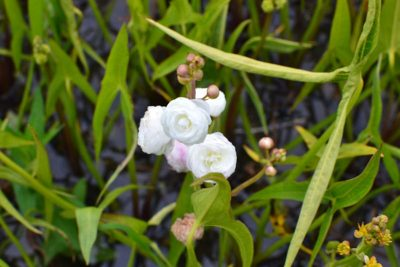 Strėlialapė papliauška 'Flore Pleno' (Sagittaria sagittifolia 'Flore Pleno')