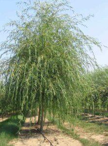 Baltasis gluosnis 'Tristis' (Salix alba 'Tristis')