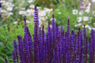 Šilinis šalavijas 'Senior' (Salvia nemorosa 'Senior')