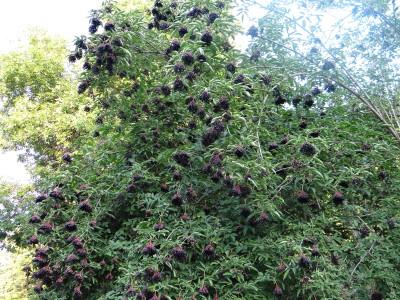 Juodauogis šeivamedis (Sambucus nigra)