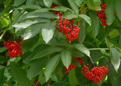 Raudonuogis šeivamedis (Sambucus racemosa)