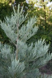 Didysis mamutmedis 'Powdered Blue' (Sequoiadendron giganteum 'Powdered Blue')
