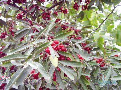 Sidabrinė šeferdija (Shepherdia argentea)