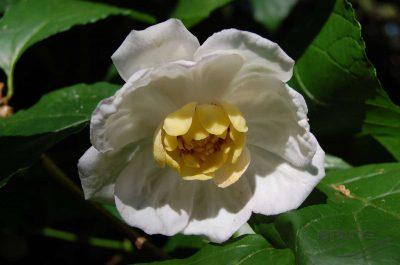 Kvapnusis pipiras (Sinocalycanthus chinensis)